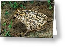 California Toad Bufo Boreas Halophilus Greeting Card