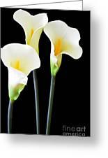 Calla Lilies In Triplicate Greeting Card