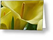 Calla Lily 1 Greeting Card