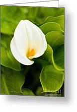 Calla Lily Plant Greeting Card