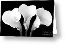 Calla Lily Trio In Black And White Greeting Card