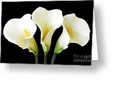Calla Lily Trio Greeting Card