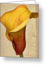 Calla Lily Vintage  Greeting Card by Heidi Smith
