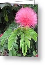 Calliandra Blossom Greeting Card