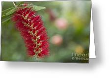 Callistemon Citrinus - Crimson Bottlebrush Greeting Card