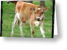 Calves Greeting Card