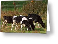 Calves Greeting Card