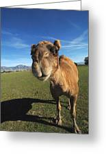 Camel 1 Greeting Card