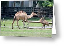 Camel And Emu Greeting Card