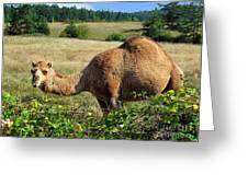 Camel In The Berry Bush Greeting Card