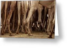 Camel Legs Greeting Card