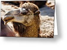 Camel Loose Lip Greeting Card