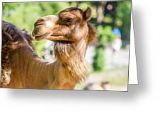 Camel Portrait Greeting Card