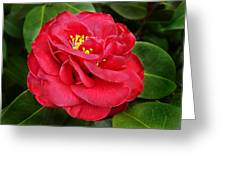 Camellia Japonica ' Dixie Knight ' Greeting Card