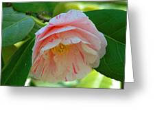 Camellia White With Pink Stripes Greeting Card
