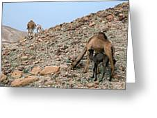 Camels At The Israel Desert -1 Greeting Card