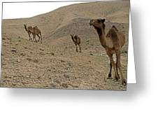 Camels At The Israel Desert -2 Greeting Card