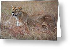 Camouflaged Female Lion In Grass Greeting Card
