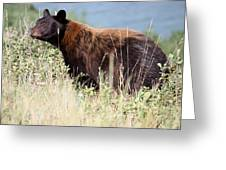 Canada Black Bear Greeting Card by Carolyn Ardolino