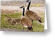 Canada Geese And Goslings Greeting Card