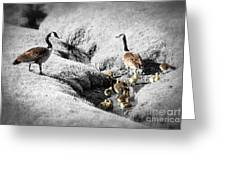 Canada Geese Family Greeting Card by Elena Elisseeva