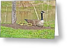 Canada Goose And Goslings Greeting Card