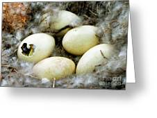 Canada Goose Eggs Greeting Card