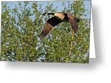 Canada Goose In Flight Greeting Card