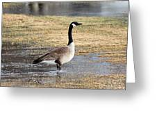 Canada Goose Greeting Card