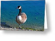 Canada Goose On One Leg Greeting Card