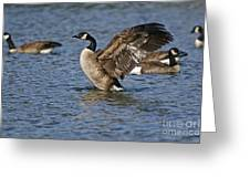 Canada Goose Pictures 165 Greeting Card