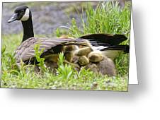 Canada Goose Pictures 192 Greeting Card