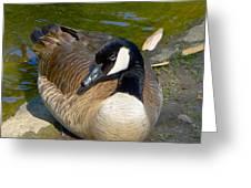 Canada Goose Sitting Pretty Greeting Card