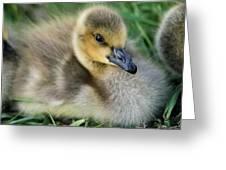 Canada Gosling Greeting Card