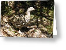 Canada Grouse Greeting Card