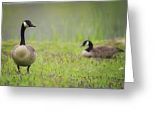 Canadian Geese Greeting Card
