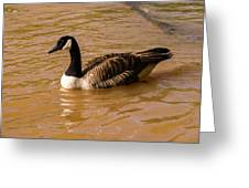 Canadian Goose In On Golden Pond Greeting Card