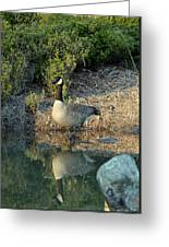 Canadian Goose Reflection Greeting Card