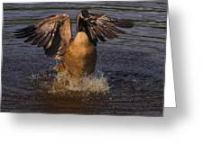 Canadian Goose Smooth Landing Greeting Card
