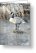 Canadian Goose Standing On A Bog In A Swamp. Greeting Card