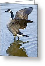 Canadian Goose Stretching Greeting Card