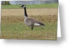 Canadian Goose Strut Greeting Card