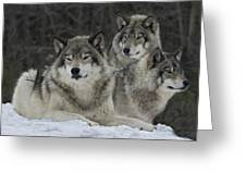 Canadian Timber Wolves Greeting Card