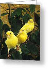 Canari Jaune Greeting Card