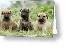 Canary Dog Puppies Greeting Card