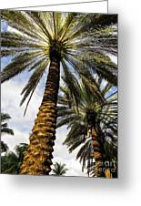 Canary Island Date Palms				 Greeting Card