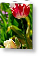 Candy Cane Tulip Greeting Card