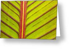 Canna Lily Red Stripe  Greeting Card