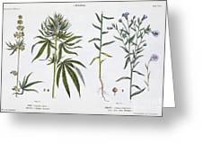 Cannabis And Flax Greeting Card