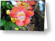 Cannonball Tree Greeting Card
